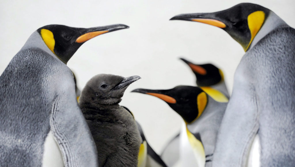 Día del pingüino