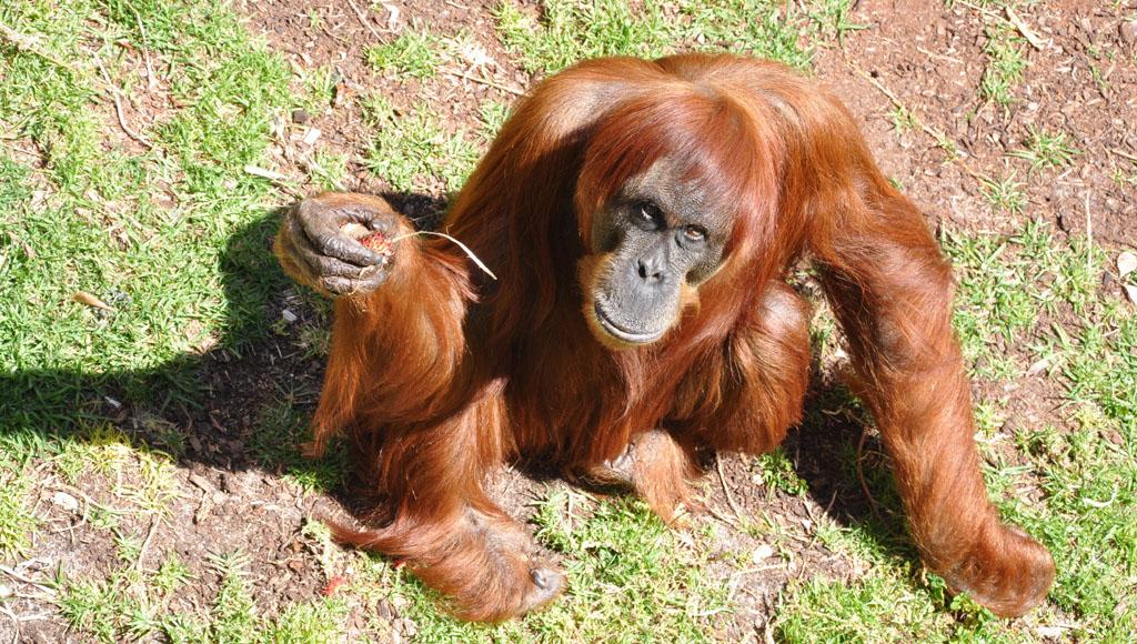Día del Orangután, 19 de agosto