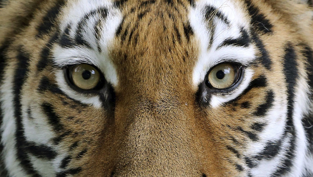 Día Internacional del Tigre (29 de Julio)