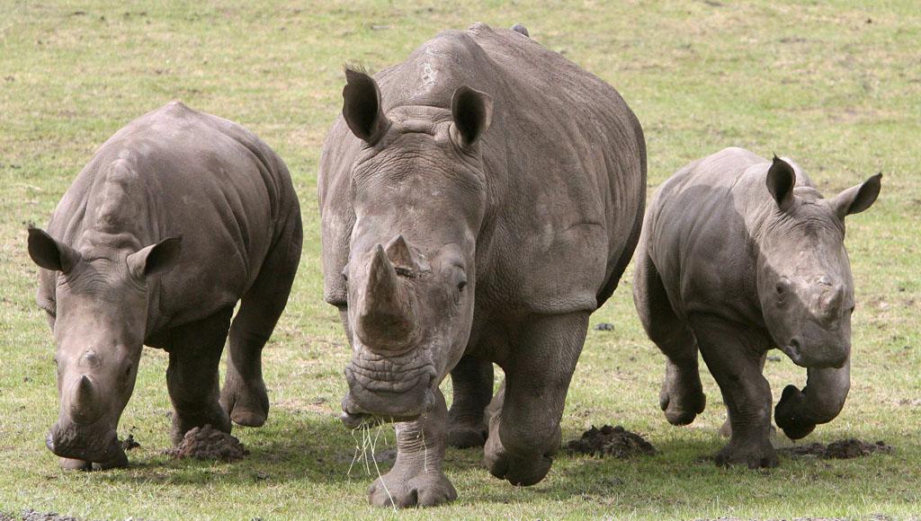 Día Mundial del Rinoceronte (22 de septiembre)