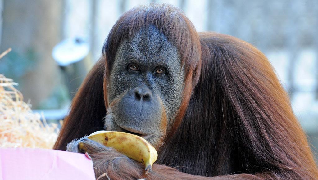 Día Internacional del Orangután (19 de Agosto)