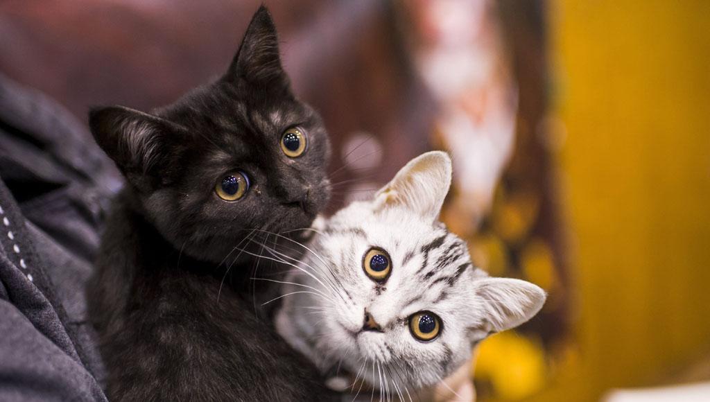 Día Internacional del Gato (20 de febrero)