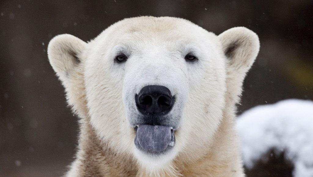 Día Internacional de  Oso Polar (27 de Febrero)