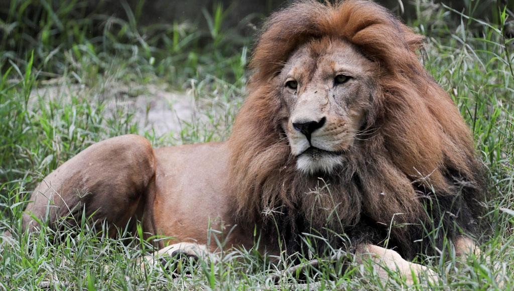 Día Mundial del León (10 de Agosto)